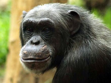 Četiri godine pravne bitke za prava šimpanza FOTO: Pixabay