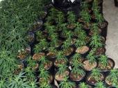 U saksijama gajio pet kila marihuane!