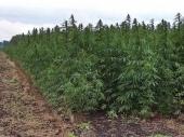 NI: Otkrivena njiva marihuane