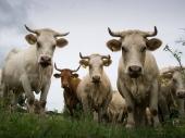 PK: Krave povredile vlasnice