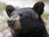 Pobegli od medveda na krov kafane