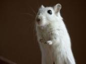 Miševi izazvali haos u skupštini