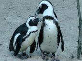 Studenti ukrali pingvine iz zoo vrta