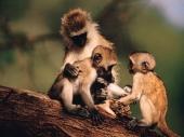 Čak i majmuni znaju za demokratiju