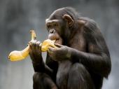 Studija: Šimpanze razumeju koncept kuvanja
