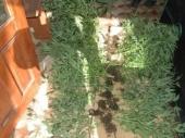 Diler iz Aleksinca gajio marihuanu u porodičnoj kući
