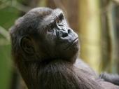 Revolucionarno otkriće: Gorile uče da pričaju