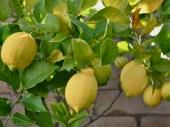 NI: Najplodniji limun u Srbiji