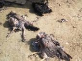 STRAŠNI PIR PASA LUTALICA: Ko je kriv za pomor ptica u Vranju?