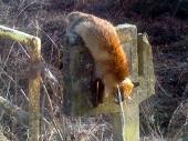 Okrutno: Mrtvu lisicu bez repa obesio o most