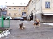 Napušteni psi NESMETANO haraju Poljanicom (FOTO)